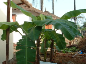 Banana plants a month or so later in greywater zone